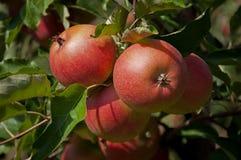 Mele rosse mature su un ramo ad un frutteto Immagini Stock Libere da Diritti