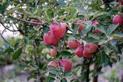 Mele rosse naturali che appendono su un albero fra fogliame verde nell'ambiente naturale Fotografie Stock Libere da Diritti
