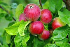 Mele rosse nel giardino della mela Fotografia Stock