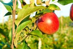 Mele rosse sane fresche su un albero in frutteto Agricoltura in autunno Fotografia Stock Libera da Diritti