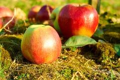 Mele rosse sane fresche su un'erba in frutteto Agricoltura in autunno Immagine Stock Libera da Diritti