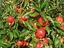 Mele rosse su un albero Fotografia Stock