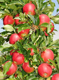 Mele rosse sull'albero Immagine Stock Libera da Diritti