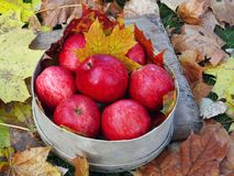 Mele rosse sulle foglie di autunno Immagine Stock