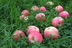 Mele a strisce rosa sull'erba verde Fotografia Stock Libera da Diritti
