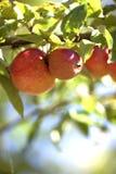 Mele sull'albero Fotografia Stock Libera da Diritti
