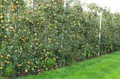 Mele sull'albero in frutteto Immagine Stock