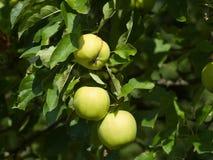 Mele verdi dettagliate di estate sull'albero prima del raccolto Immagini Stock