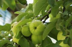 Mele verdi fresche con rugiada su un ramo di albero Fotografia Stock