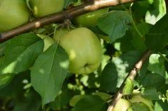 Mele verdi mature delizia che appendono su un ramo un giorno di estate soleggiato Immagine Stock Libera da Diritti