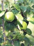 Mele verdi su un ramo pronto ad essere raccolto, all'aperto, fuoco selettivo Immagini Stock