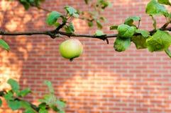 Mele verdi sull'albero Fotografia Stock