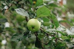 Mele verdi sull'albero Immagini Stock