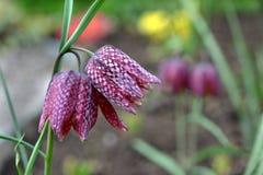 Meleagris de Fritillaria, fleurs de ressort image libre de droits