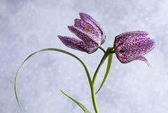 Meleagris del Fritillaria en fondo de la nieve fotografía de archivo