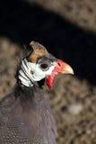 Meleagris del Numida, pollo dell'Angola fotografia stock