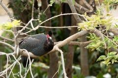 Meleagris Numida (в касках гине-птица) Стоковое Изображение RF
