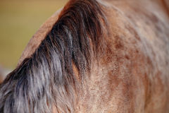 Melena de un caballo Fotos de archivo libres de regalías