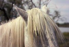 Melena del caballo Foto de archivo libre de regalías