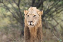 Melena del león Fotografía de archivo