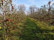 Meleto con le mele rosse mature fotografia stock