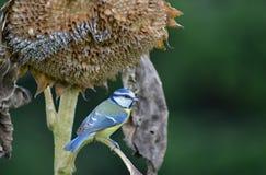 Melharuco azul Fotos de Stock Royalty Free
