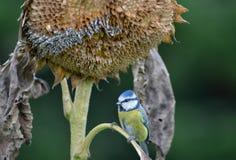 Melharuco azul Imagem de Stock Royalty Free