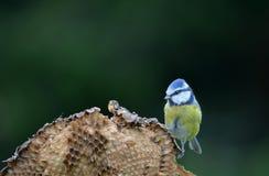 Melharuco azul Foto de Stock