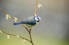 Melharuco azul Fotografia de Stock