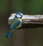 Melharuco azul em um registro Imagens de Stock