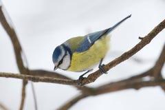 Melharuco azul euro-asiático no ramo no inverno imagens de stock royalty free