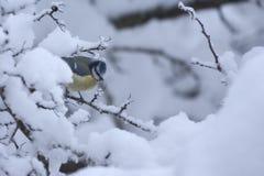 Melharuco azul na filial snow-covered. fotografia de stock royalty free