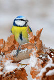 Melharuco azul no inverno Imagem de Stock