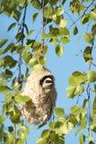 Melharuco de Penduline Fotos de Stock