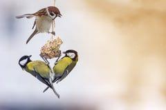 Melharuco dos pássaros e um pardal que senta-se em comer do alimentador do pássaro fotografia de stock