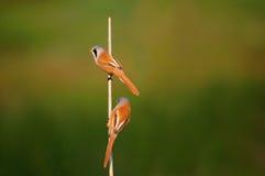 Melharuco farpado Foto de Stock
