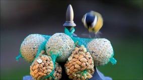 melharuco, titmouse, semente do pássaro, alimentando filme