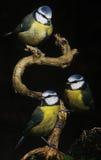 Melharucos azuis que sentam-se em uma vara Imagens de Stock