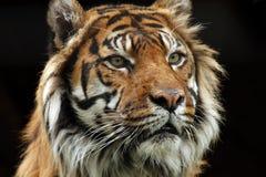 Melhor dos gatos grandes Fotografia de Stock Royalty Free