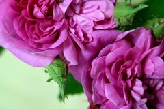Melhor Rose Buds Fotografia de Stock Royalty Free