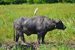 Melhores amigos do búfalo do pássaro e de água Imagens de Stock Royalty Free