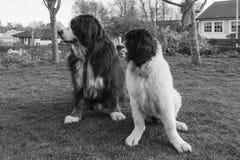 Melhores amigos no gramado - traseiro e branco Fotografia de Stock