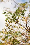 Melia azedarach or chinaberry tree, Pride of India, bead-tree, Cape lilac, Persian or Indian lilac tree. Close up stock photo