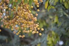 Melia azedarach tree and fruit. Common names of Melia azedarach include china-berry tree, Persian lilac, umbrella cedar, white cedar, bead-tree, Cape lilac Stock Photo
