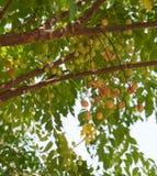 Melia chinaberry lub azedarach fotografia stock