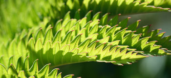 Melianthus. An exotic plant from South Africa with leaves which look like sharks teeth Stock Photo