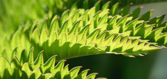 Melianthus. An exotic plant from South Africa with leaves which look like sharks teeth Royalty Free Stock Images