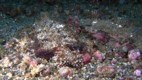 Melibe viridis sea slug stock video