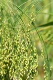Melica glutinosa fotografia stock libera da diritti