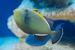 Melichthys indicus - Indian triggerfish Royalty Free Stock Image